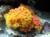 Sealife Suncoral в аквариуме Стоковое Фото