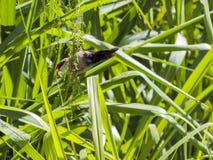 Sealing Beak Bird. Lacquer Beak Bird Estrilda astrild measures about 10cm and weighs around 7 grams, Common Name: Common Waxbill, Family: Estrildidae, Bonaparte Royalty Free Stock Images