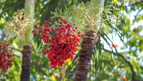 Sealing wax palm. Close-up The red palm fruits Stock Photo