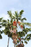 Sealing wax palm with red fruit Stock Photos