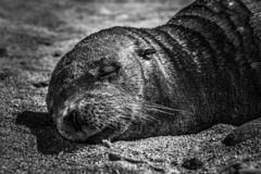 Sealion ύπνου στοκ εικόνα