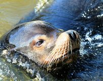 Sealion 2 Stock Photography