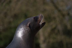 Sealion. At a  show in a zoo Stock Image