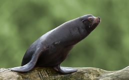 Sealion. On trunk with green background Royalty Free Stock Photography