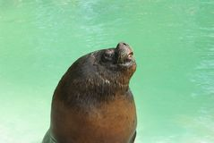 Sealion Royalty Free Stock Image