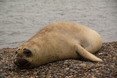 Sealion on the beach. Sealion on a beach in Punta Nimfes, Argentina Stock Photography