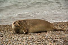 Sealion on the beach. Sealion on a beach in Punta Nimfes, Argentina Royalty Free Stock Images