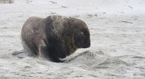 Sealion on beach in New Zealand. Large sealion in New Zealand Royalty Free Stock Photos