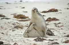 Sealion. The sealion is on the beach scratching himself Stock Photography