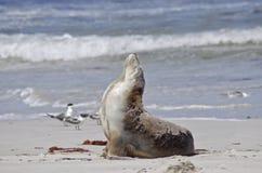 Sealion. The sealion is on the beach walking Stock Photo