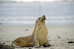 Sealion. The sealion is on the beach walking Royalty Free Stock Photography