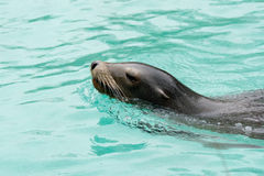 Sealion at Bronx Zoo. 2014 Winter royalty free stock image