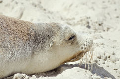 Sealion. This is a close up of a sealion Stock Images