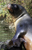 Sealion close up looking at camera Royalty Free Stock Photography