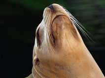 Sealion Royalty Free Stock Images