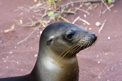 Sealion in the Galapagos Islands stock images