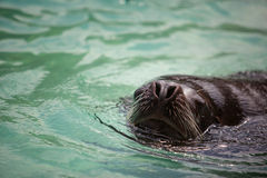 Sealion. Head and Face of a Sealion swimming in the water Royalty Free Stock Image