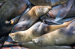 Sealion Pile. A pile of sleeping California sealions (Zalophus californianus stock photos