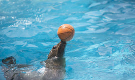 Sealion playing the ball Royalty Free Stock Image