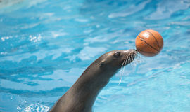 Sealion playing the ball Royalty Free Stock Photos