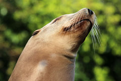 Sealion. Portrait of a Sealion with a green background Royalty Free Stock Photography