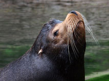 Sealion. Portrait of a male Sealion with water in the background Royalty Free Stock Images