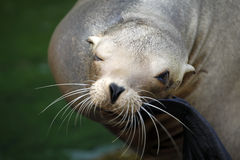 Sealion. Portrait of a sealion with one eye closed Royalty Free Stock Photo