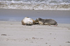 Sealion and pup Stock Images