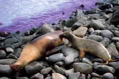 Sealion Pup Nursing Galapagos Islands. Sealion pup nurses while its mother rests on Espanola island in the Galapagos Stock Photo
