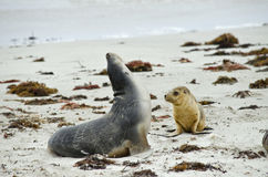 Sealion and pup. The sealion pup is walking to its mother Stock Image