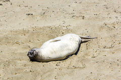 Sealion  relaxes and sleeps at the beach Royalty Free Stock Image