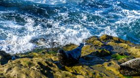 Sealion resting on cliffs. Waave splashing into the rocks Royalty Free Stock Photo