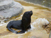 Sealion. In retirement still seeks crowd and basks in adulationrn Royalty Free Stock Photos