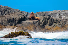 Sealion on a rock. Above the see Stock Photography