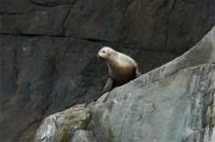 Sealion on rocks Royalty Free Stock Image