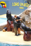 Sealion Show. PUERTO DE LA CRUZ, TENERIFE - JULY 4: Sealion show in the Loro Parque, which is now Tenerife's largest man made attraction July 4 2012 Puerto De La Stock Image