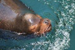 Sealion swimming. Sealion having fun in the water Royalty Free Stock Photo