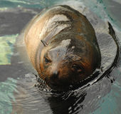 Sealion swimming Stock Photos