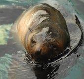 Sealion swimming. A sealion swimming towards the camera Stock Photos