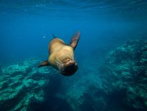 Sealion. Swimming underwater Royalty Free Stock Images