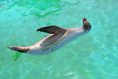 Sealion in turquoise water Stock Images