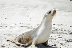 Sealion. The sealion is walking along on the beach Stock Photography