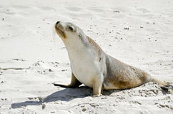 Sealion. The sealion is walking along on the beach Royalty Free Stock Image