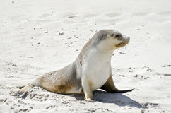 Sealion. The sealion is walking along on the beach Stock Image