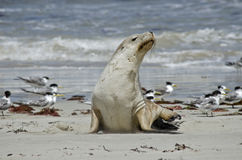 Sealion. The sealion is walking along on the beach Royalty Free Stock Photography