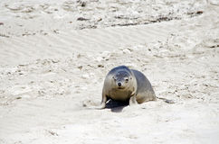 Sealion. The sealion is walking along on the beach Royalty Free Stock Images