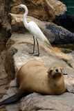 Sealion and white bird resting on the rocks. A sealion and a white bird resting on the rocks in the seal and sealion enclosure at Sea World, Orlando, Florida Royalty Free Stock Photo