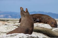 Sealion yawning while sunbathing and relaxing in the bay of Kaikoura royalty free stock image