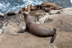 Sealioness posing Stock Image