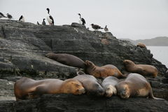 Sealions And Cormorants Royalty Free Stock Images